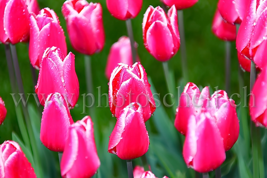 Tulipes roses humides