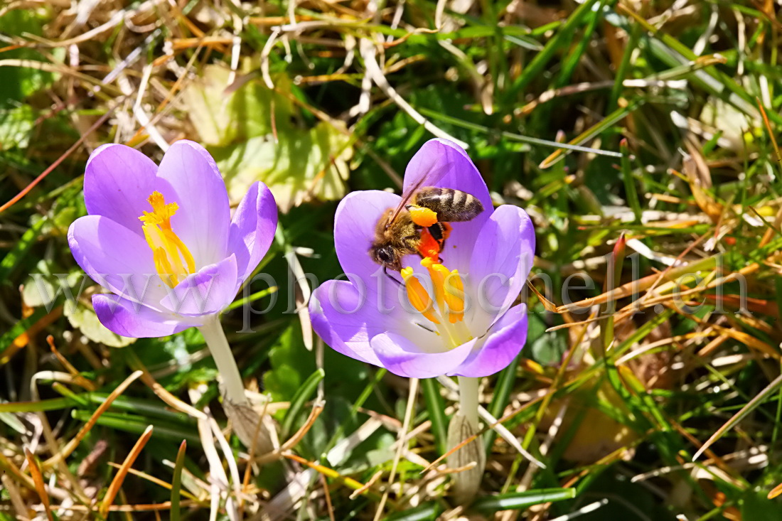 Abeille buttinant un crocus